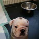 English:British bulldog kc reg tri colour