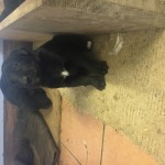 Lab X collie (Lollies) for sale