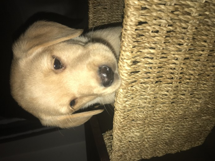 KC Pedigree Labrador Puppies - only 3 left!