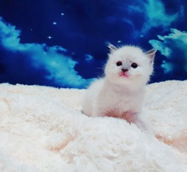 Pedigree Ragdoll Kittens Active / Non Active