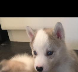 Pets  - Kc Siberian husky pups