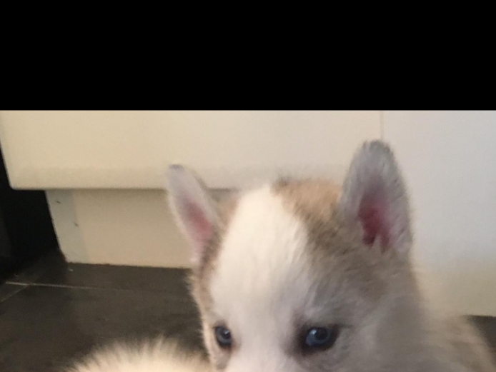 Kc Siberian husky pups
