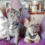 Lilac and fawn frenchies