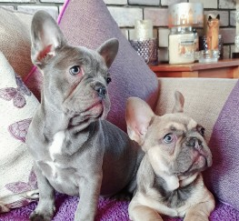 Pets  - Lilac and fawn frenchies