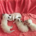 Gorgeous Ragdolls For Sale