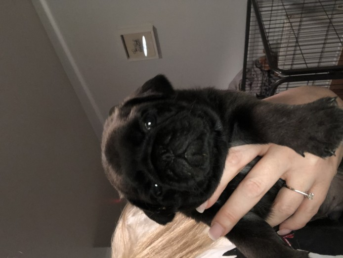 2 gorgeous kc pug girls are remaining from a litter of 6