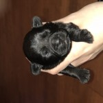 French Bulldog X Toy Poodle ( French Boodles )