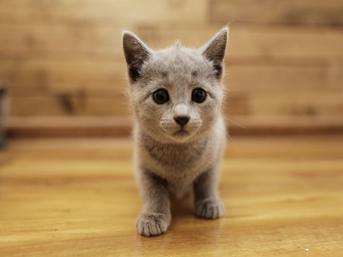 Pure Pedigree Russian Blue