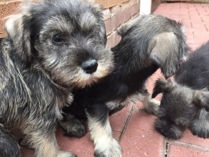 Beautiful Kc Reg /eye Test Clear Miniature Schanuzer Puppies for sale