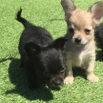 chihuahua puppies for sale (long haired)great pedigree gorgeous