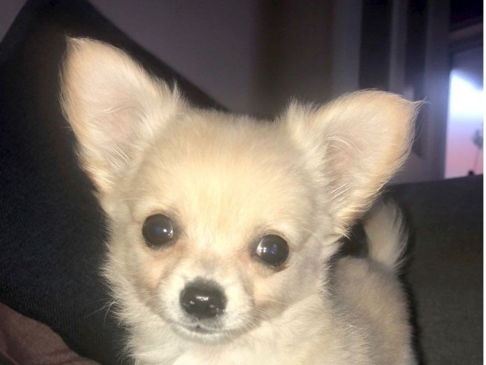 Adorable Litter Of 7 Chihuahua Puppies for Sale