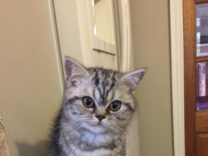 Stunning BSH Silver tabby boy from outstanding championship lines - Ready Now