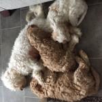 Cockerpoochon puppies for sale!!