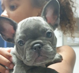 Pets for Sale - French bull dog pups