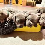 Stunning Litter Of Staff Pups -  ALL GONE!!