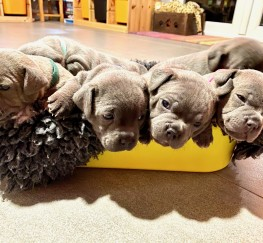 Pets  - Stunning Litter Of Staff Pups -  ALL GONE!!