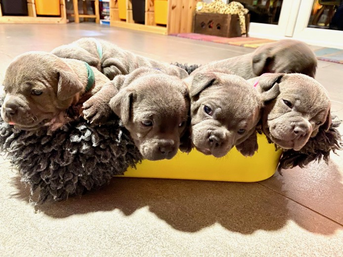 Stunning Litter Of Staff Pups -  ALL GONE!!