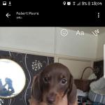 3 miniature dachshund