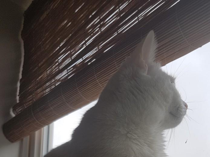 Wanted - Male Turkish Angora Cat