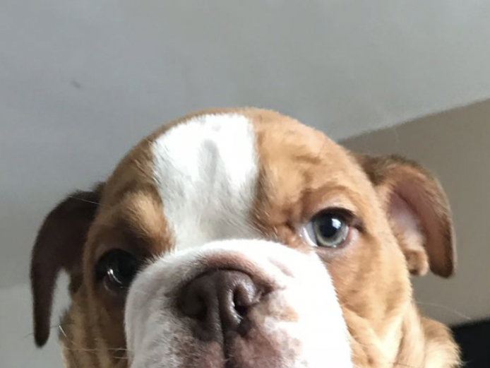 Bulldog 2 male puppies