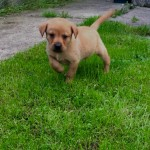 Stunning Litter Of KC Registered Labrador Puppies