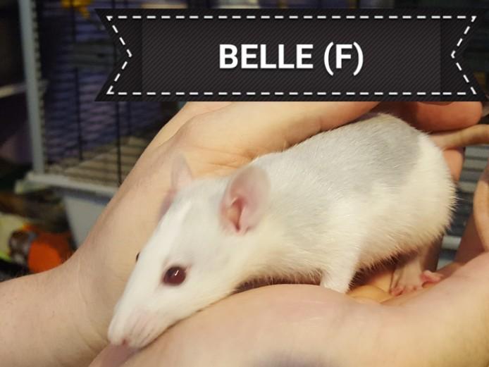 Female Snub nose Fancy Rats for sale.