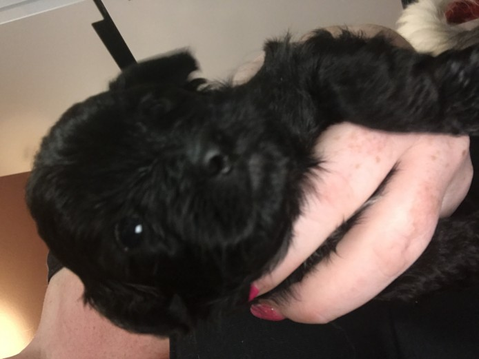 Shihpoos puppies for sale