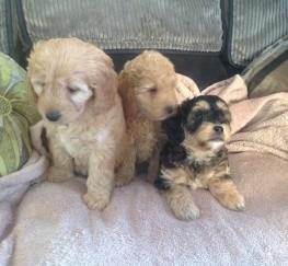 Pets  - Cockapoo F1b puppies