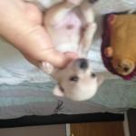 chihuahua puppies k.c
