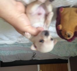 Pets  - chihuahua puppies k.c