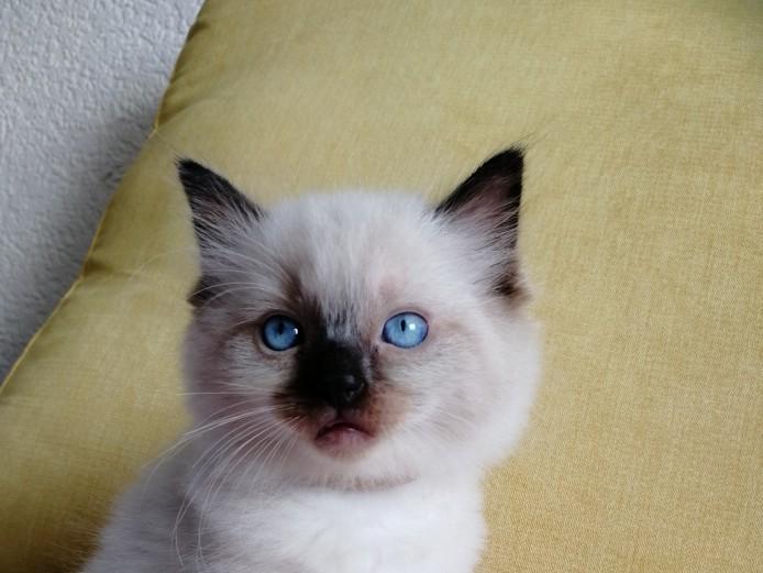 Amazing Ragdoll kittens