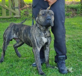 Pets for Sale - Stunning Cane Corso