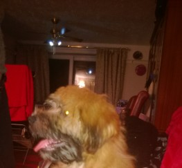 Pets  - Beautiful english soft coated wheaten terrier puppy