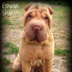 Fantastic litter of Eshpari Shar Pei Puppies
