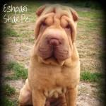 Fantastic litter of Eshpari Shar Pei Puppies