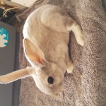 Beautiful mini rex buck