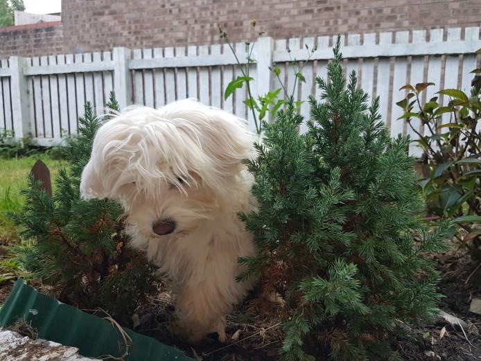 White cute maltese puppy girl kc