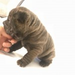 Miniature Shar Pei puppies