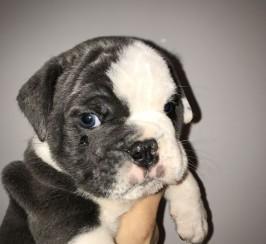 Pups Sired By Romeo Of Posherbulls