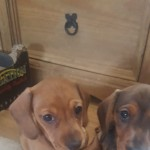 3 KC reg Miniture dachshund puppies