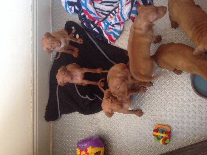Hungarian Vizla puppies