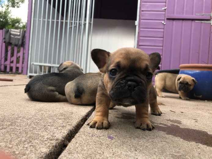 6 French bill dog puppies for sale