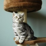 Silver Tabby British short Hair Kittens