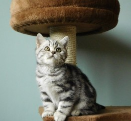Pets for Adoption - Silver Tabby British short Hair Kittens