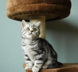 Pets for Adoption - Silver Tabby British short Hair Kittens