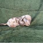 dachshunds standard