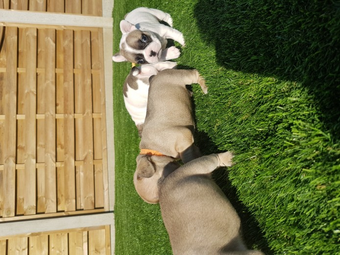 READY NOW   french bulldog pups