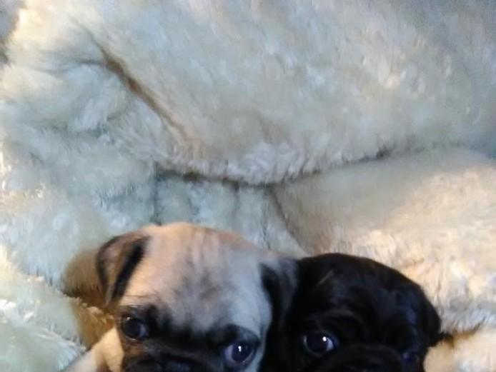 Beautiful Kc Pug Puppies