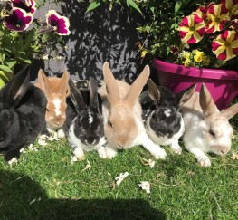 Pets for Sale - FABULOUS MINI REX DOES VERY FRIENDLY