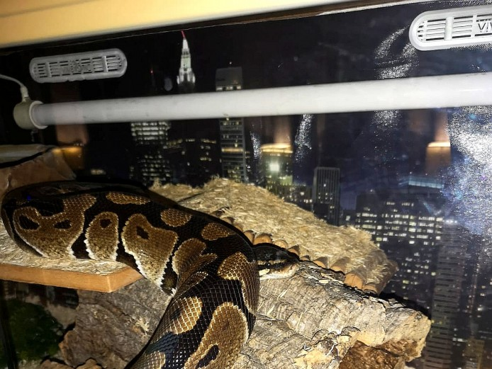Male Royal Python & Full Set Up